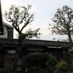 鳥取市K様邸-イトヒバと梅の木剪定